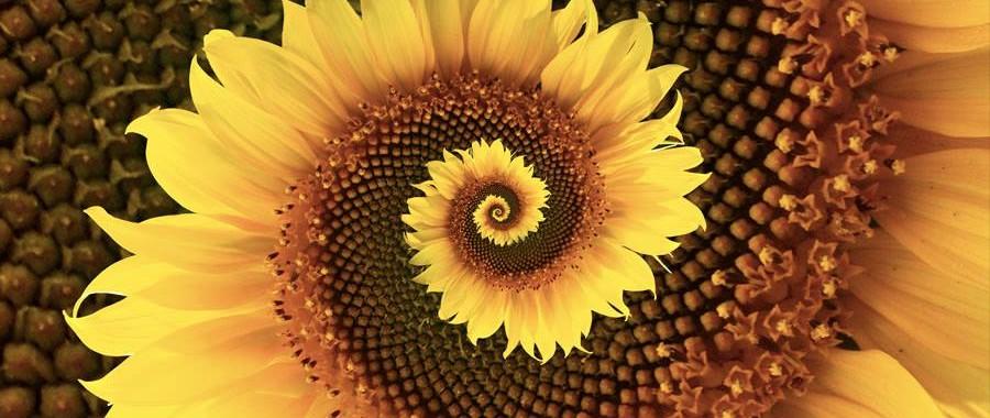 zonnebloem spiraal